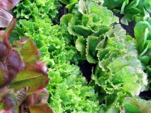 Farm_Lettuce